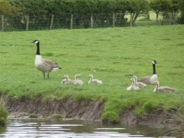 09 A family of Canada Geese.jpg